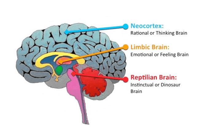 manniskohjarna-neocortex-limbiska-systemet-amygdala.png